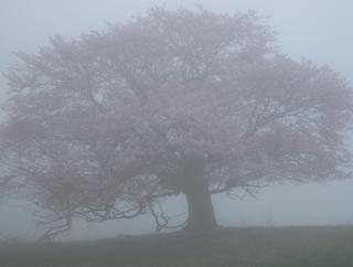 IMG_07亀桜.JPG