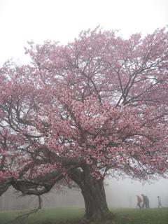 IMG_09亀桜.JPG